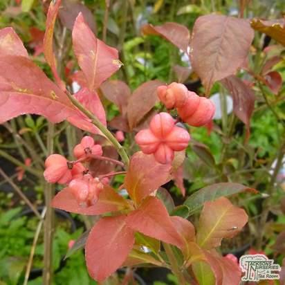 Buy Euonymus europaeus Red Cascade at Jacksons Nurseries