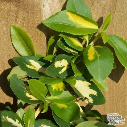 Buy Euonymus fortunei Sunspot (Evergreen Bittersweet) online from Jacksons Nurseries.