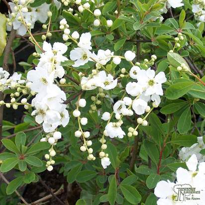 Buy Exochorda The Bride from Jacksons Nurseries