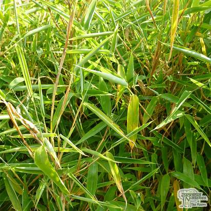 Buy Fargesia murieliae Jumbo (Umbrella bamboo) online from Jacksons Nurseries.