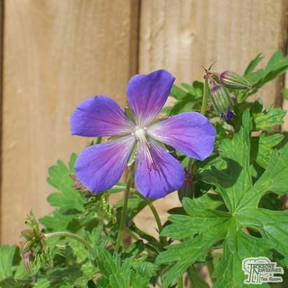 Buy Geranium Brookside online from Jacksons Nurseries