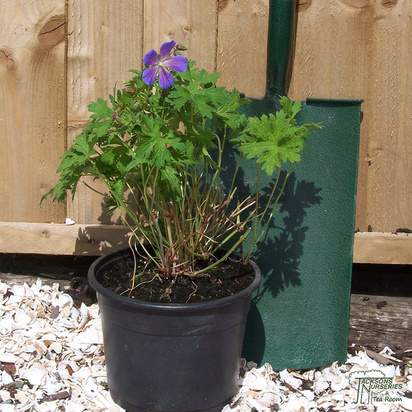 Buy Geranium Brookside online from Jacksons Nurseries