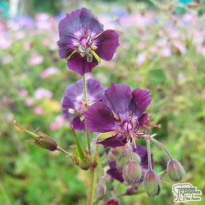 Buy Geranium phaeum online from Jacksons Nurseries