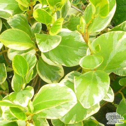 Buy Griselinia littoralis Variegata (New Zealand broadleaf 'Variegata') online from Jacksons Nurseries