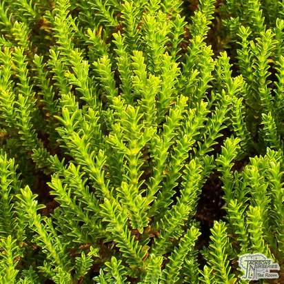 Buy Hebe Green Globe (Emerald Green) (Shrubby Veronica) online from Jacksons Nurseries.