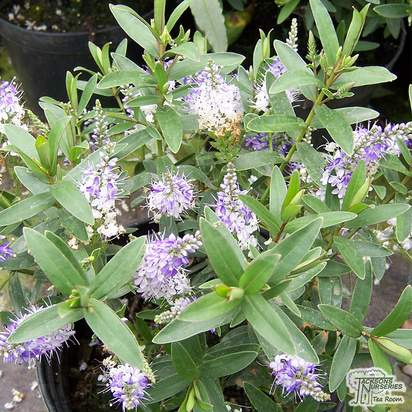 Buy Hebe Purple Queen online from Jacksons Nurseries.