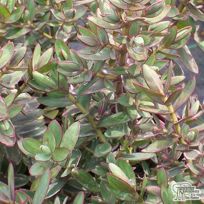 Buy Hebe Silver Dollar online from Jacksons Nurseries