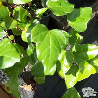 Buy Hedera algeriensis Gloire De Marengo online from Jacksons Nurseries