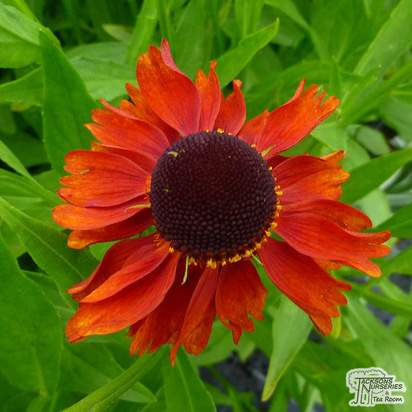Buy Helenium Moerheim Beauty (Sneezeweed) online from Jacksons Nurseries