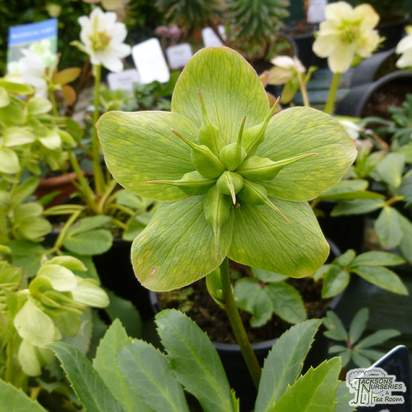 Buy Helleborus niger (Black Hellebore / Christmas Rose) online from Jacksons Nurseries