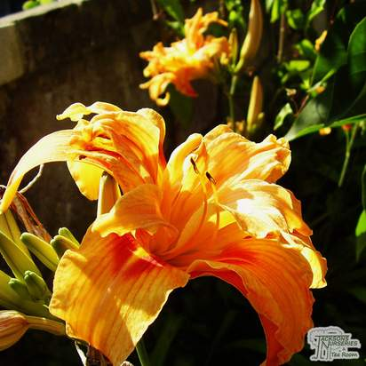 Buy Hemerocallis fulva 'Flore Pleno' (Daylilly) online from Jacksons Nurseries