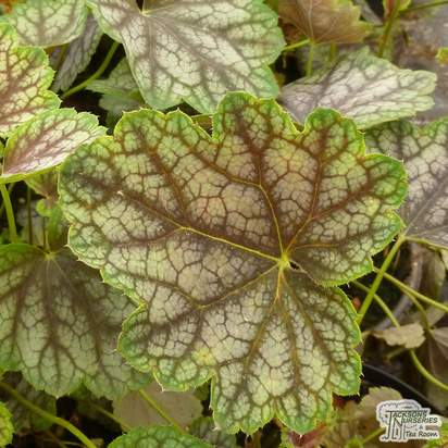 Buy Heuchera Beauty Colour (Coral Bells Beauty Colour) online from Jacksons Nurseries