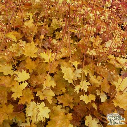 Buy Heuchera Ginger Ale online from Jacksons Nurseries
