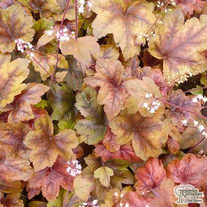 Buy Heucherella 'Brass Lantern' from Jacksons Nurseries
