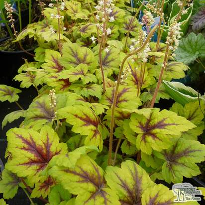 Buy Heucherella Stoplight online from Jacksons Nurseries