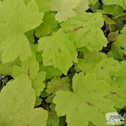 Buy Heucherella Sunrise Falls at Jacksons Nurseries