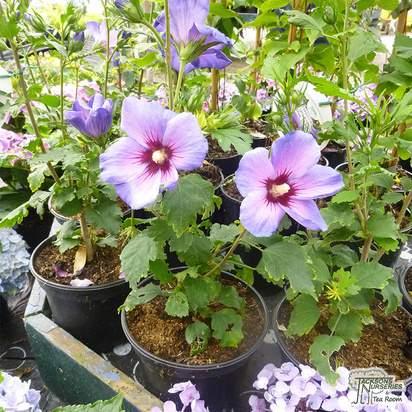 Buy Hibiscus syriacus Oiseau Bleu (Hibiscus) online from Jacksons Nurseries.