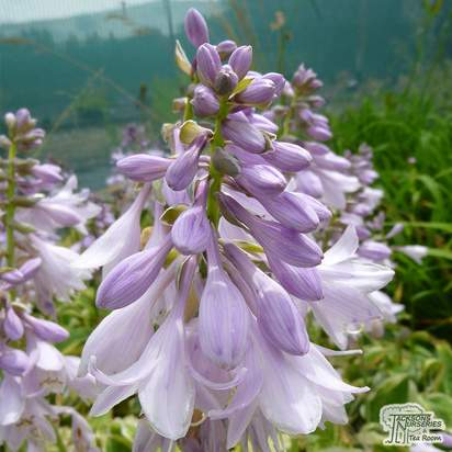 Buy Hosta Wide Brim (Plantain Lily) online from Jacksons Nurseries