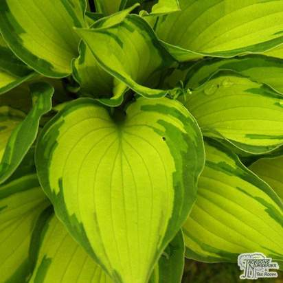 Buy Hosta fortunei var. albopicta (Plantain Lily) online from Jacksons Nurseries.