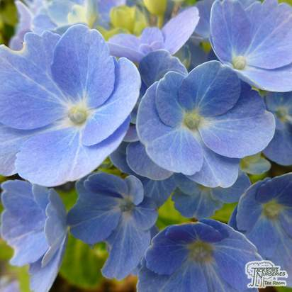 Buy Hydrangea macrophylla Nikko Blue (Hydrangea Mophead) online from Jacksons Nurseries.