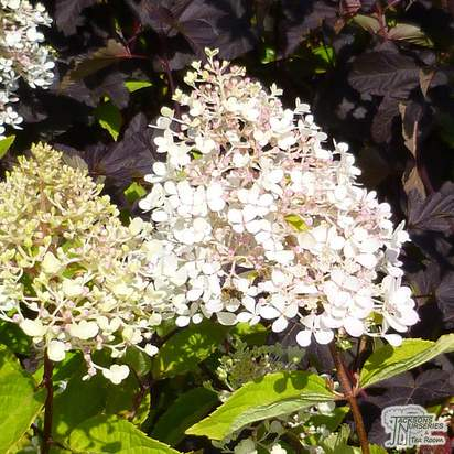 Buy Hydrangea paniculata Grandiflora (Hydrangea) online from Jacksons Nurseries.