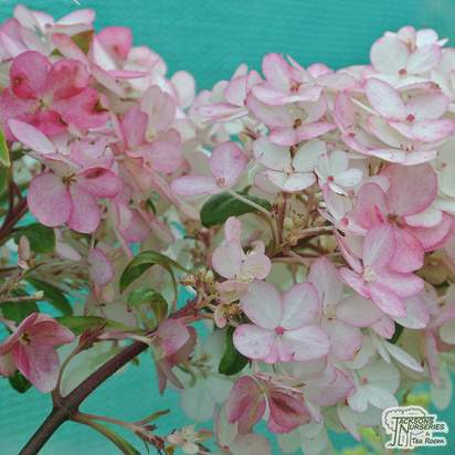 Buy Hydrangea paniculata Vanille Fraise at Jacksons Nurseries