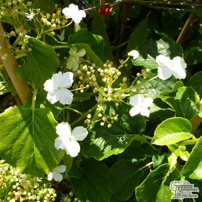 Buy Hydrangea seemanii at Jacksons Nurseries
