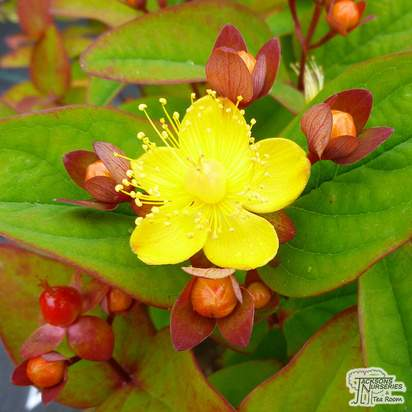 Buy Hypericum x inodorum Magical Red online from Jacksons Nurseries.