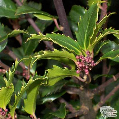 Buy Ilex x meserveae Blue Prince (Male Holly) online from Jacksons Nurseries.