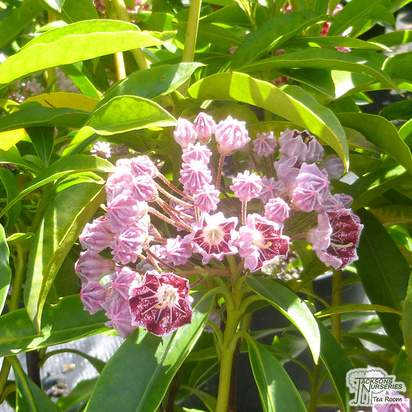 Buy Kalmia latifolia Pinwheel (Mountain Laurel) online from Jacksons Nurseries