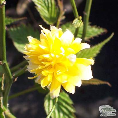 Buy Kerria japonica Pleniflora (Double Kerria) online from Jacksons Nurseries
