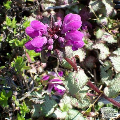 Buy Lamium maculatum Beacon Silver (Dead Nettle) online from Jacksons Nurseries