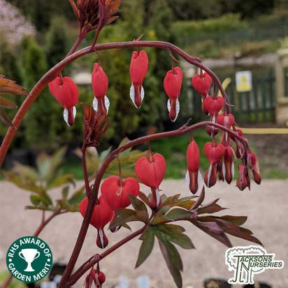 Buy Lamprocapnos spectabilis 'Valentine' (Dicentra) (Bleeding Heart) online from Jacksons Nurseries