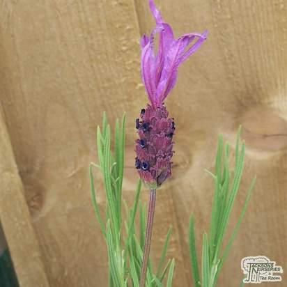 Buy Lavandula pedunculata subsp. pedunculata (Lavender) online from Jacksons Nurseries.