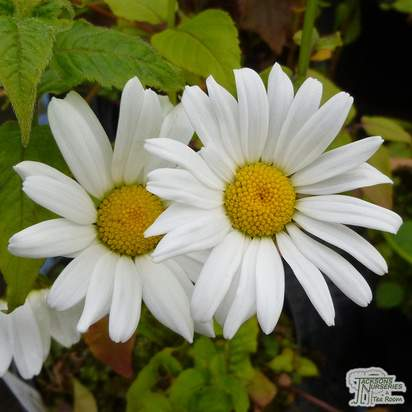 Buy Leucanthemum vulgare (Ox-eye Daisy) online from Jacksons Nurseries