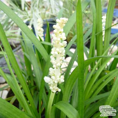 Buy Liriope muscari Monroe White (Monroe White Lily-turf) online from Jacksons Nurseries.