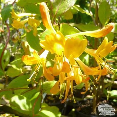 Buy Lonicera Mandarin online from Jacksons Nurseries