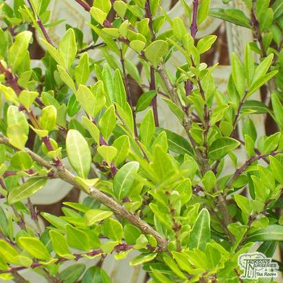 Buy Lonicera pileata (Privet Honeysuckle) online from Jacksons Nurseries.