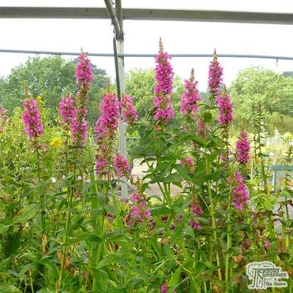 Buy Lythrum salicaria Robert (Loosestrife) online from Jacksons Nurseries