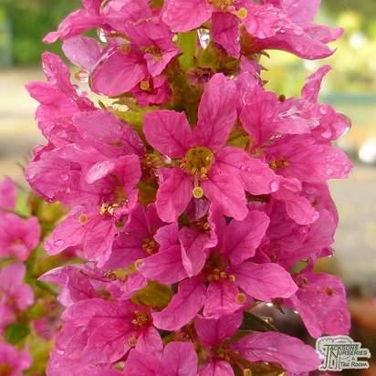 Buy Lythrum salicaria Robert (Loosestrife) online from Jacksons Nurseries