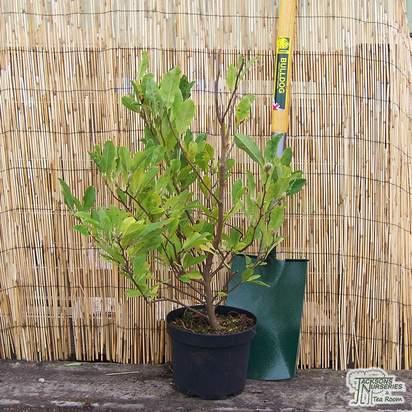 Buy Magnolia stellata (Star Magnolia) online from Jacksons Nurseries