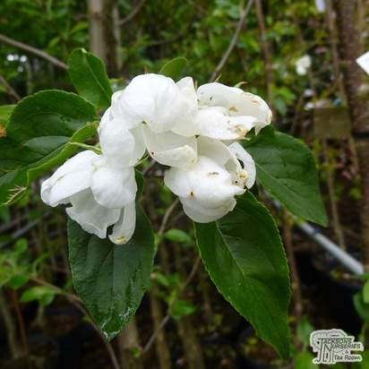 Buy Malus John Downie online from Jacksons Nurseries