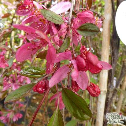 Buy Malus Royal Beauty online from Jacksons Nurseries