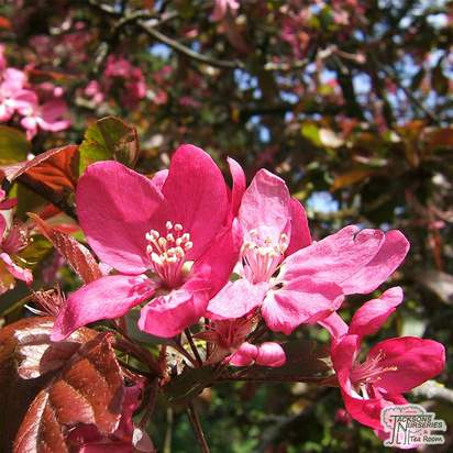 Buy Malus Royalty online from Jacksons Nurseries