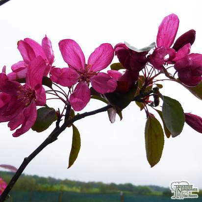 Buy Malus x moerlandsii Profusion Improved online from Jacksons Nurseries