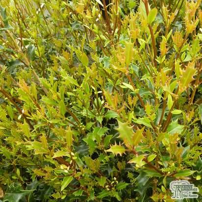 Buy Osmanthus heterophyllus Gulftide at Jacksons Nurseries
