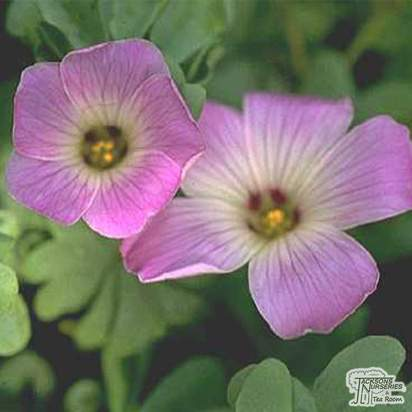 Buy Oxalis adenophylla (Sauer klee) online from Jacksons Nurseries