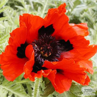 Buy Papaver orientale Rembrandt (Oriental Poppy) online from Jacksons Nurseries.