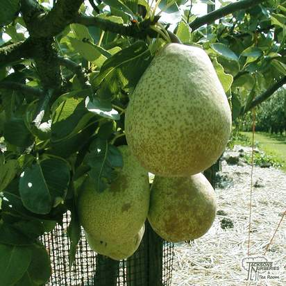 Buy Pear comminis Beurre Hardy online from Jacksons Nurseries