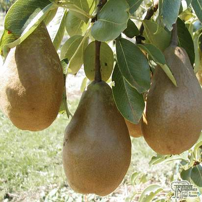 Buy Pear - Pyrus communis 'Conference' online from Jacksons Nurseries